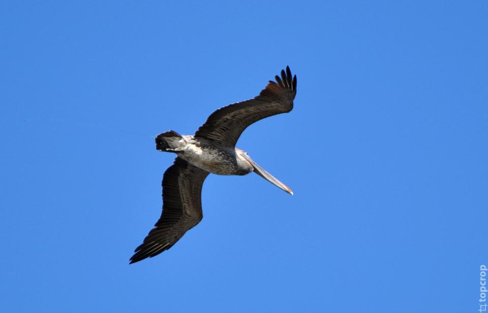 Пеликан в Сент-Петерсбурге, Флорида