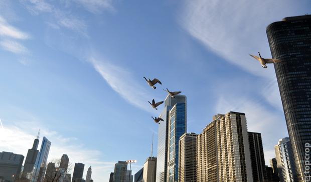 Дикие гуси около озера Мичиган в Чикаго