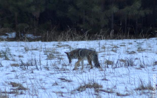 Волк в парке Йосемити