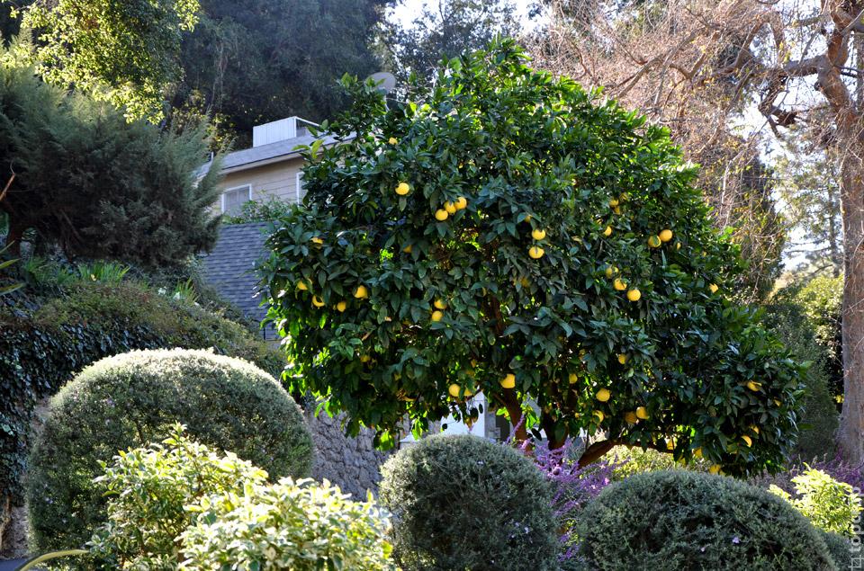 Лимонное дерево в районе Голливуда