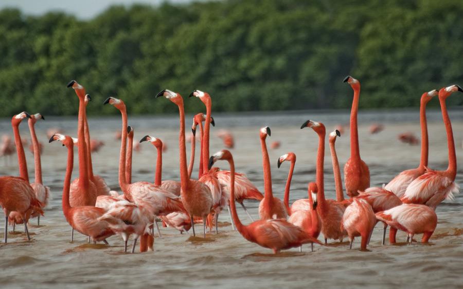 Розовые фламинго в Мексике